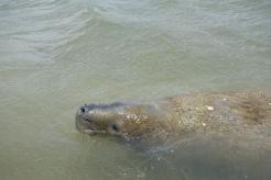 Peixe boi, Barra de Mamanguape