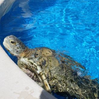 The Giant (green) Turtle - Tartaruga Verde