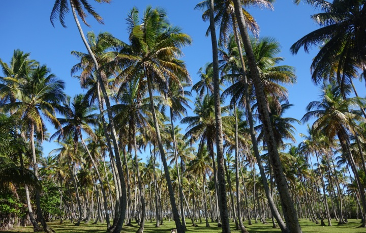Amazing field of palm trees