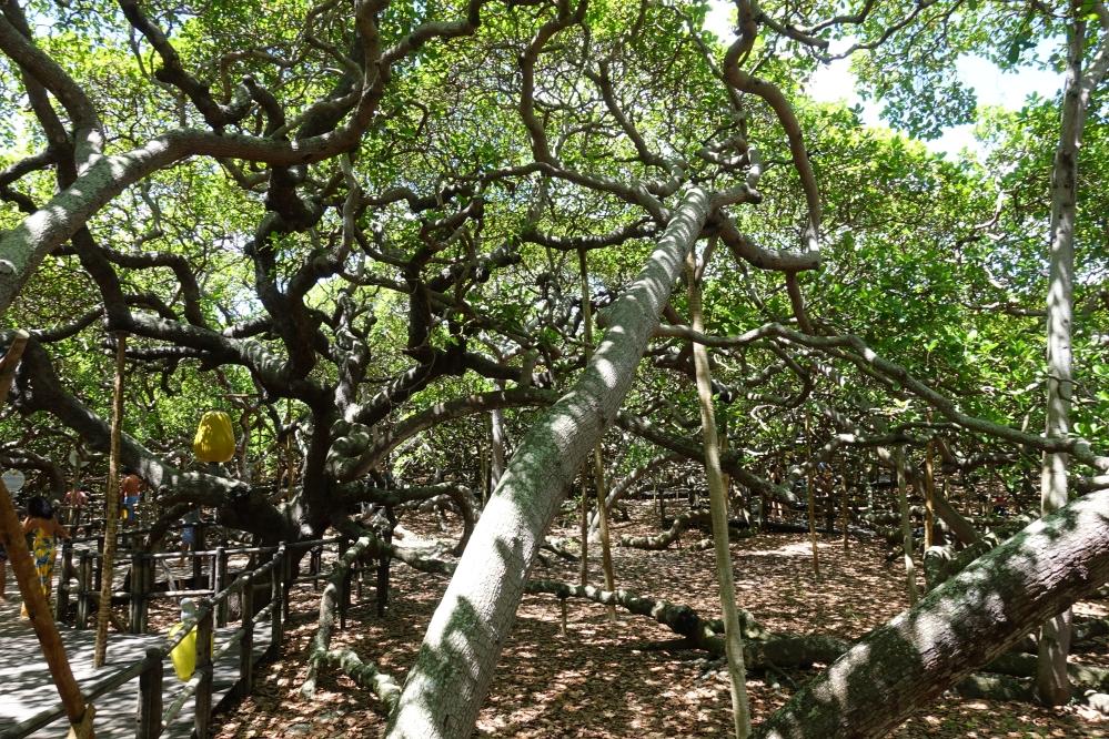 Natal - Cajueiro de Pirangi (Largest cashew tree in the world)